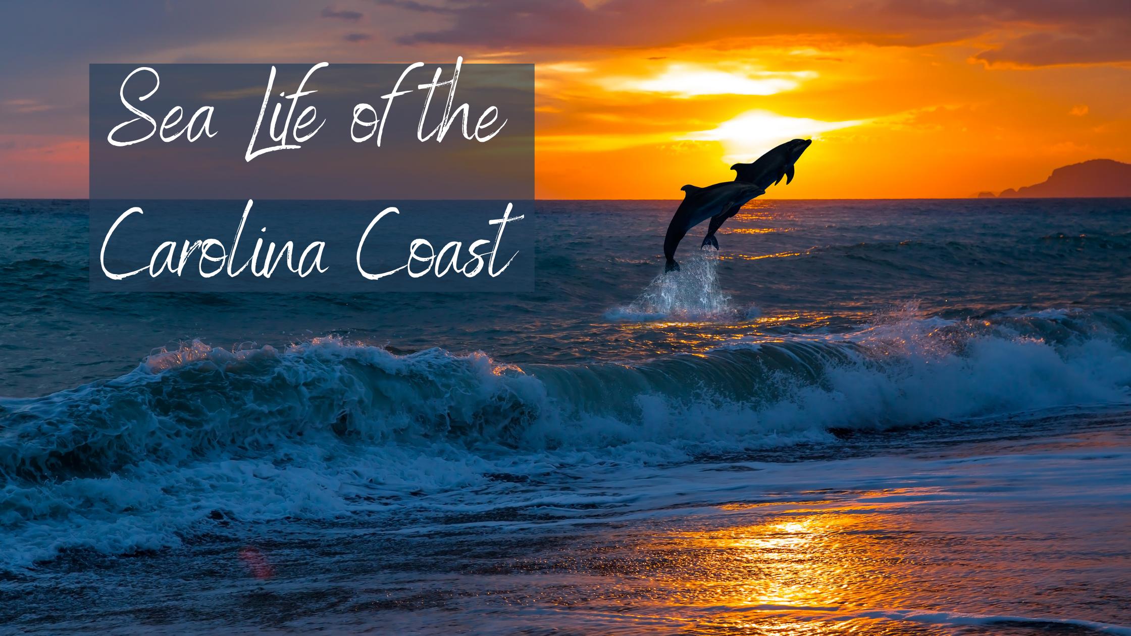 Sea Life of the Carolina Coast